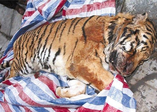 温州老虎尸体