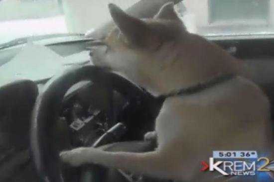 车祸的肇事者是一只狗(电视报道截图)