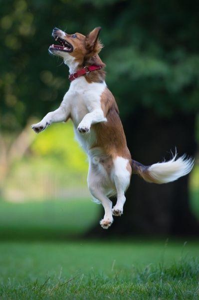 狗飞翔跳跃幸福时刻