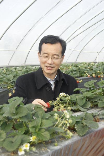 徐华在地头察看草莓,看到草莓长势良好,他很高兴