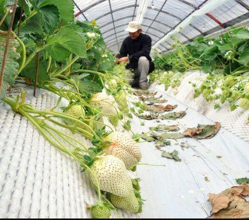种植草莓的塑料大棚内画面。