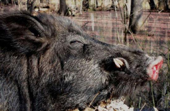 男子擒获500斤野猪