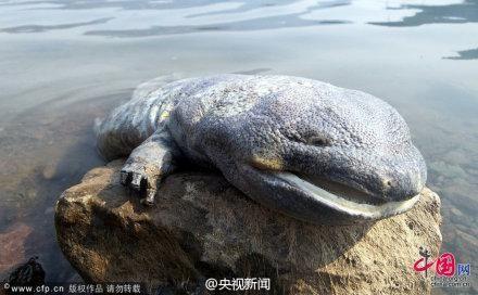 河北承德水库现罕见巨型娃娃鱼