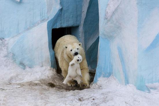 熊妈妈咬耳朵叼出小熊