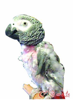26岁的鹦鹉罗伊毛发已经被自己拔得不成样子。