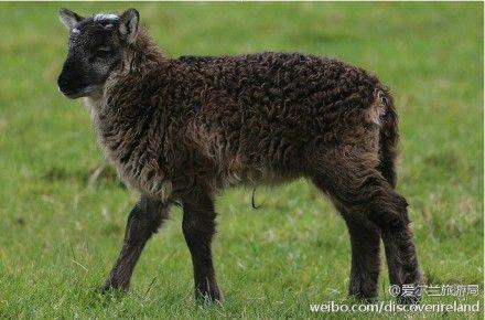 遗传了山羊与绵羊的优秀基因