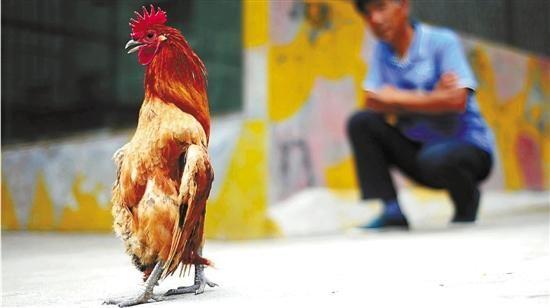 公鸡患病后身体不能下弯