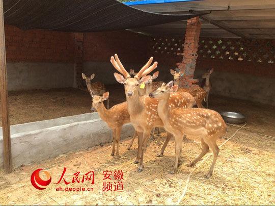 颍上返乡大学生养20只梅花鹿