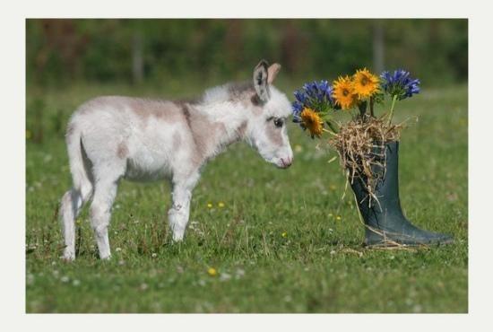 英国超级迷你小驴降生 身高60厘米娇小可爱