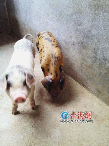 白母猪生出一只金猪 身体金黄加黑色斑点