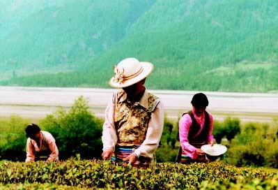 茶:藏民族生理和心理的调节剂