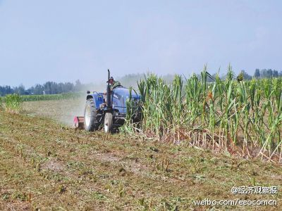 农民含泪铲除绝收玉米