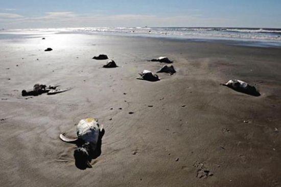 巴西700多只企鹅暴尸海滩(资料图)