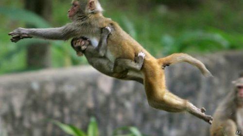 很多印度教徒把弥猴视为神圣的,并喂养弥猴