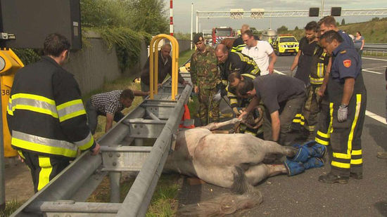 德国两匹马在货车上打架,导致公路被封2小时。