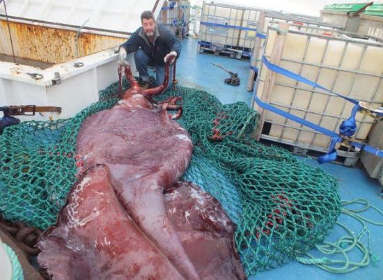 南极洲捕获巨型鱿鱼解剖