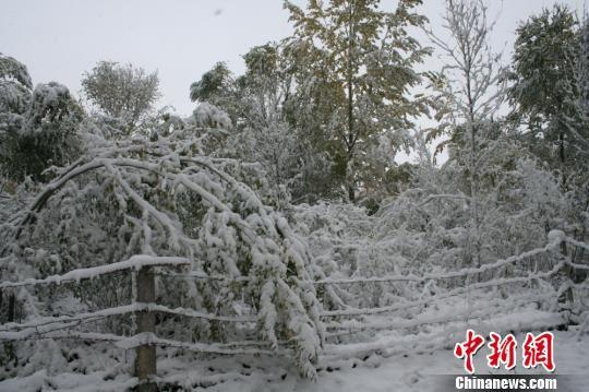 图为降雪覆盖的树木。 刘小华 摄