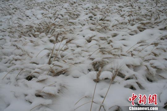 图为受灾的农作物。 刘小华 摄