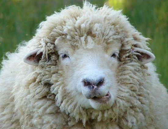 """羊群误食大麻后集体""""傻笑"""""""