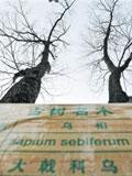 安徽古树迎客松凤凰松最名贵