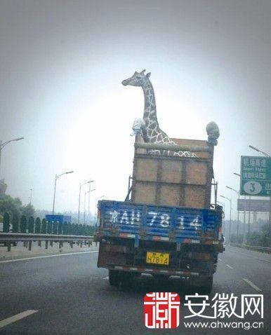 淮北动物园来了长颈鹿 运输过程引 北京市北五环的照片成为了网友们