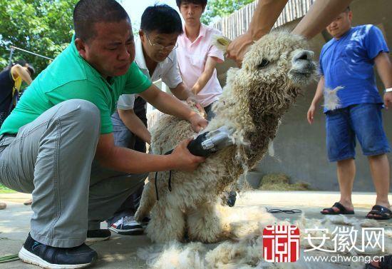 """合肥野生动物园小羊驼剃毛避暑 脱下""""棉袄""""照样萌"""