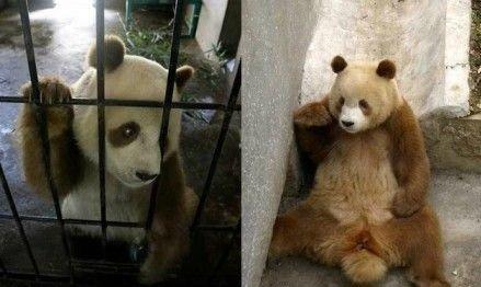 陕西出现棕色大熊猫