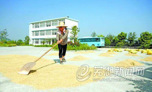 芜湖峨桥镇政府腾出院子让农民晒稻谷