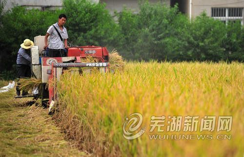 水稻成熟收获忙