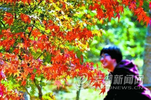 芜湖其实也能看到枫叶红