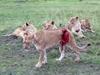 母狮搏斗受伤