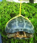 街头叫卖千元巨龟
