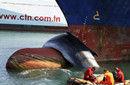鲸鱼撞上法国港口货轮