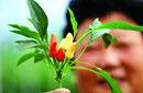 世界第二辣椒能辣死大树